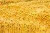 麦田 (kuula2000) Tags: china flower color art beautiful wow eyes bravo explore aphoto 4aces 麦田 flickrsmileys aplusphoto d700 云南的印象