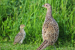 (azorlu) Tags: bird child pheasant mother mum kus phasianidae tragopan sln