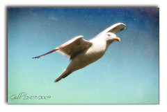 Gull in flight 1 (bonksie61) Tags: blue orange white black bird eye gull beak feathers artphotography beautifulshot almostanything allin1 shiningstar naturelimited ilovemypics naturesbes royalgrup
