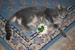 Millie 28 January 2012 0006b 4x6 (edgarandron - busy!) Tags: cats cute cat feline tabby kitty kitties tabbies millie graytabby