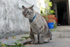 Orejas paradas (Gaby Winkler) Tags: cat siamese gato gata shiva siames siamesa