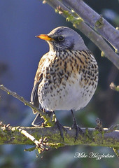 FF 031 ~ Fieldfare~ (Mike Hazzledine -- British Biodiversity) Tags: birds garden turdus fieldfare thrushes turdidae passerines specanimal allofnatureswildlifelevel1 allofnatureswildlifelevel2 allofnatureswildlifelevel3 allofnatureswildlifelevel4 allofnatureswildlifelevel5 allofnatureswildlifelevel8 allofnatureswildlifelevel6 allofnatureswildlifelevel7 allofnatureswildlifelevel9