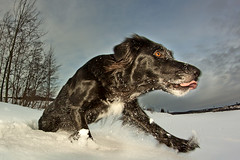The Dog (magnusl67) Tags: trees dog snow animal canon sweden jmtland frsn winteraction magnuslgdberg