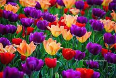 Tulip Frenzy (Studio281Photos) Tags: flowers red nature yellow zoo spring flora purple tulips stlouis missouri stlouiszoo tulipfield redtulips purpletulips yellowtulips