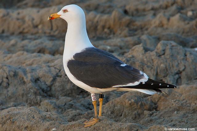 Lesser Black-backed Gull, (L.f. graellsii), >5cy, W[B2]N