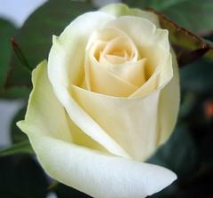 "Weekend Rose for my Flickr Friends . . . [Explore] #353 (Gartenzauber) Tags: white macro rose sony explore blume weis yabbadabbadoo floralfantasy supershot topshots masterphotos perfectpetals photosandcalendar flowersarebeautiful floraandfaunaoftheworld macroelsalvador excellentsflowers natureselegantshots spiritofphotography explorewinnersoftheworld exquisiteflowers mimamorflowers flickrhivemind flickrflorescloseupmacros paololivornosfriends panoramafotográfico thebestofmimamorsgroups greatshotss coth5 natureandpeopleinnature ""doublefantasy"" sublimeflowershot sublimerose fleursetpaysages theoriginalgoldseal flickrsportal esenciadelanaturaleza frommetoyouwithlove 5wonderwall floralaromas odetojoyodeàalegria rosesforeveryone magicmomentsinyourlifelevel1magicmomentsinyourlifelevel2magicmomentsinyourlifelevel3 magicmomentsinyourlife sunrays5 magicmomentsinyourlifelevel2 madaboutflowers magicmomentsinyourlifelevel3 magicmomentsinyourlifelevel4"