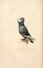 n219_w1150 (BioDivLibrary) Tags: pigeons mblwhoilibrarywoodshole bhl:page=1908445 dc:identifier=httpbiodiversitylibraryorgpage1908445 taxonomy:trinomial=columbaliviadomestica