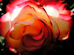 PTDC0044 (Maggie Mbroh, joeyjorie) Tags: flowers roses flower petals bees petal pollen signsofspring signofspring beesandpollen beesandroses rosesandbees antiquarose luckyladyrose nightanddayrose greatshowrose beeandroses