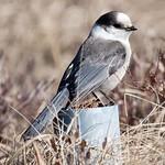 Gray Jay (Perisoreus canadensis) thumbnail
