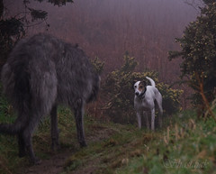 Stand-off (Shastajak) Tags: dog fun play pentax games whippet chase bullterrier sighthound rehomed rescued k5 saluki scottishdeerhound lurcher deerhound ishmael flori crossbreed gazehound tamron18250mm pentaxk5