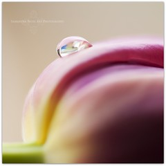 A Tulip Droplet (Samantha Nicol Art Photography) Tags: pink flower macro reflection green art nature water floral square petals dof bokeh tulip droplet samantha nicol