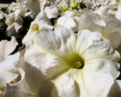 saudi flower bed (zbigphotography (1M+ views)) Tags: flowers white yellow flora riyadh saudiarabia canong12