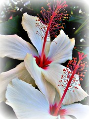 Hibiscus 'Angel Wings' #2 (TravelsThruTheUniverse) Tags: hibiscus tropicalflowers summergardens tropicalgardens subtropicalflowers tropicallandscapes ringexcellence flickrstruereflection1