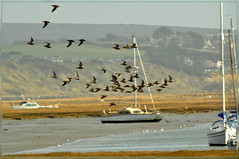 the birds keep flocking in (bobspicturebox) Tags: new light house castle geese gull flight spit stint swans brent milton egrets hurst curlew blackback