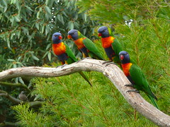 Rainbow Lorikeets (teressa92) Tags: nature colors birds awesome lorikeets autofocus thegalaxy platinumpeaceaward ringexcellence