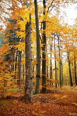 Three beeches / Ti buci (Jirka Chomat) Tags: wood autumn tree leaves les czech autumncolors czechrepublic bohemia strom beech buk podzim beechwood listy autumnlandscape vodradskbuiny podzimnbarvy podzimnkrajina voderadskybeechwood