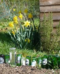 2012 Week 13: G is for Garden (snommiS kraM) Tags: flowers green nature grass yellow garden bottles herbs shed soil rosemary allotment daffodils plot t189201252week13