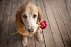 melt... my... heart!!! {explored!} (miss_n_arrow) Tags: birthday flower love rose golden kirby eyes heart handsome retriever relationship bond aww melt lovely adore agh highqualitydogs