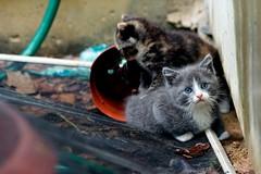 Los gatitos (J.PerkProductions) Tags: cats cute animals photography babies kittens photographs dslr 100mm28macro jeffreyperkins canont2i jperkproductions eightpspi