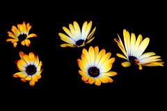 Out of the Dark (Tami Ott) Tags: flowers flower macro yellow nighttime daisy africandaisy tamiott