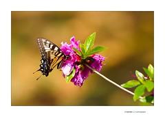 Butterfly @ 200mm F2 Part II (jimservies | photography) Tags: butterfly nikond700 nikkor200mmf2edvrii nikkor200mm nikkor200mmf2 bokeh extremebokeh azaleabush azalea jimserviesphotography knoxvilletn yellowbutterfly