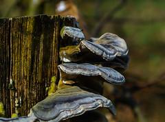 Baumpilze - Wood and tree fungi (Kat-i) Tags: macro nature natur fungus kati pilze holz baumpilze woodandtreefungi nikon1v1