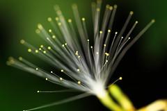 Natural Fiber Optics (Xuberant Noodle) Tags: plant flower forest belize pistil jungle stamen pollen