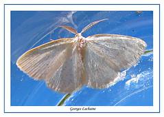 6270 - Virgin Moth - Protitame virginalis (Georges Lachaîne) Tags: 6270 protitamevirginalis virginmoth