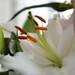 Lilies up close