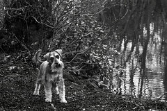100 X - Twenty Eight [Explored] (linlaw39) Tags: friends blackandwhite bw dog reflection wet water jack mono aberdeenshire branches miniatureschnauzer 2014 lindal 100x mintlaw adencountrypark may2014 canonpowershotsx260hs project100x 02052014 image28100