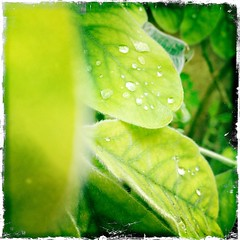 Raindrops (Katie Fuller @bogbumper) Tags: water rain leaf sandy bedfordshire raindrops thelodge hipstamatic uploaded:by=flickrmobile flickriosapp:filter=nofilter