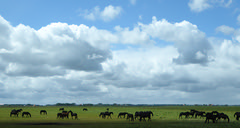 Frisian horses in the meadow (Alta alatis patent) Tags: horses clouds meadow frisian