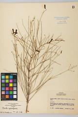 JBGP-000353 (Herbario JBGP) Tags: plantaginaceae russeliaequisetiformis