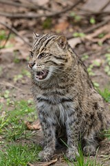 Fischkatze / Fishing cat (Burnett0305) Tags: bavaria bayern canonef100400mmf4556lisusmii canoneos7dmarkii carnivora felidae feloidea fischkatze fishingcat germany katze katzen katzenartige kleinkatze kleinkatzen mammalia nuremberg nrnberg prionailurusviverrinus raubtiere sugetiere tiergartennrnberg zooofnuremberg deutschland