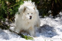 Samoyed (My Planet Experience) Tags: winter dog snow animal race samoyed running racing musher mushing sled sleigh eskimo pulk sledge snowdog pulka skijoering nenets samoyede wwwmyplanetexperiencecom myplanetexperience