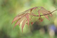 Japanese Maple (greggys stuff) Tags: japanesemaple singleton