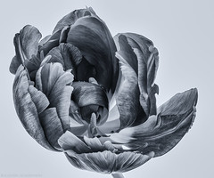 Just another tulip (katrin glaesmann) Tags: flower macro monochrome tulip withered tulpe schwarzweis playinginmykitchen