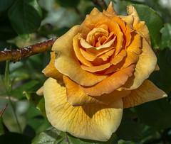 ROSA (MAGGIO 2016) (MY SECRET WINDOW) Tags: red roses plant flower macro rain rose foglie garden leaf rosa foglia fiore acqua pioggia calma giardino roseto pianta gocce petalo rossa allaperto fioritura pastello