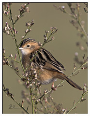 Cisticola - 4 May 2016 (Allambie) Tags: canberra act tamron150600mm canon7dmk2