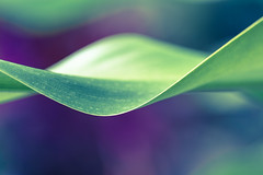 Sine of the Times (Jeronimo Photography) Tags: plant macro green leaf purple florida miami outdoor wave helix curve sine cosine palmettobay canon6d ef100mmf28lmacroisusm