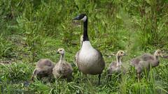 Mother goose (neil.bulman) Tags: mothergoose baby gosling goose babygeese canadagoose geese godmanchester england unitedkingdom gb
