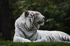 Tigre blanc ( Ades ) (DoddieElodie) Tags: france zoo tigre carnivore flin lafleche sarthe paysdelaloire tigreblanc zoodelafleche unesaisonauzoo