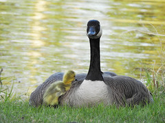 You are my everything. (dynamicbirder) Tags: canada goose sunrays5