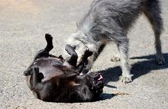 pug wrestler (adore62) Tags: dog dogs pug lurcher