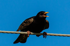 European Starling (patrickhale7173) Tags: black bird nature european wildlife starling arkansas avian vulgaris sturnus