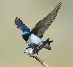 Tree Swallows Mating (KoolPix) Tags: nature birds animal animals wings branch feathers mating swallows nationalgeographic naturephotography beaks treeswallows naturephotos amazingnature jayd naturephotographer mnsa fantasticnature birdsmating animalphotographer marinenaturestudyarea koolpix jdiaz wonderfulbirdphotos jaydiaz jaydiaznaturephotographer wcswebsite