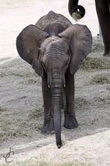 Lowry Park Zoo: African Elephant (Jasmine'sCamera) Tags: park animal animals tampa zoo lowry lowryparkzoo