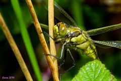 La cuarta (loriagaon) Tags: espaa plants naturaleza macro nature animals plantas dragonfly galicia libelula animales pontevedra loria loriagaon rx10lll sonyrx10lll sonydscrx10iii