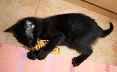 Gata Pucca (20) (adopcionesfelinasvalencia) Tags: gata pucca