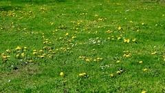 Meadow (rhomboederrippel) Tags: vienna park austria cityhall meadow sunny dandelion april fujifilm rathaus citycenter citycentre taraxacum lwenzahn 2016 1stdistrict 1bezirk xe1 rhomboederrippel
